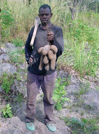 Hombre sujetando pico y un montón de ñames grandes que acaba de cosechar