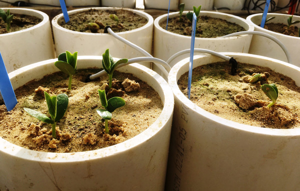 Containers of just-sprouted soybeans showing that some seeds germinate (four leaves per container) while others don't (two leaves)