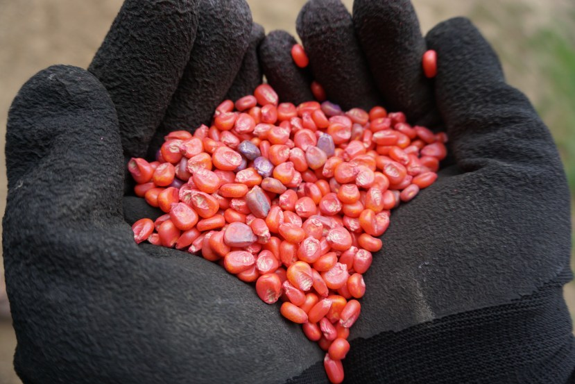 cupped hands with black gloves holding red and purple corn seeds.