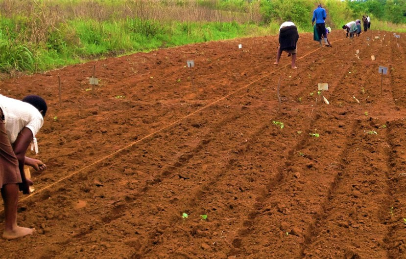 women lined up in rows bending over planting seeds along a string over soil