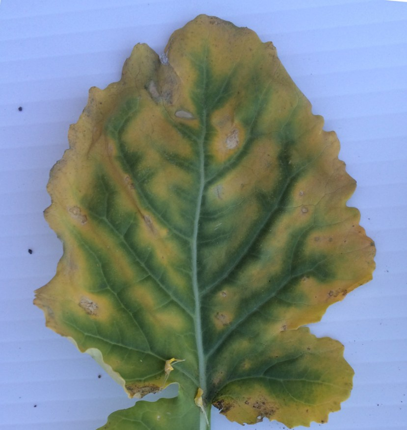 Leaf on table; inner part with veins is green, outer part is yellow