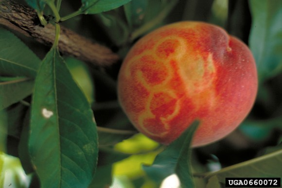 plum showing signs of plum pox virus
