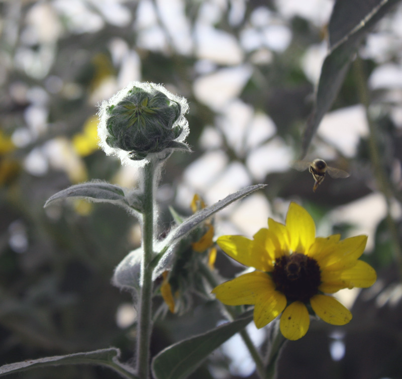 One open sunflower, smaller with yellow petals and dark seeds - and a bee buzzing atop. One bud is ready to open and has light hairs on it called trichomes
