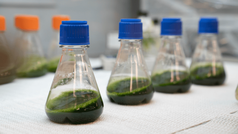 four beakers filled with microalgae solution used in strawberry research to improve soil microbiome