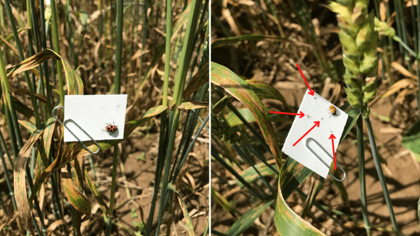 side-by-side photos of ladybugs and aphids on a small piece of cardstock in a wheat field
