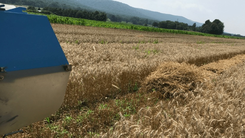 back end of combine machine in wheat field to harvest samples and determine yield