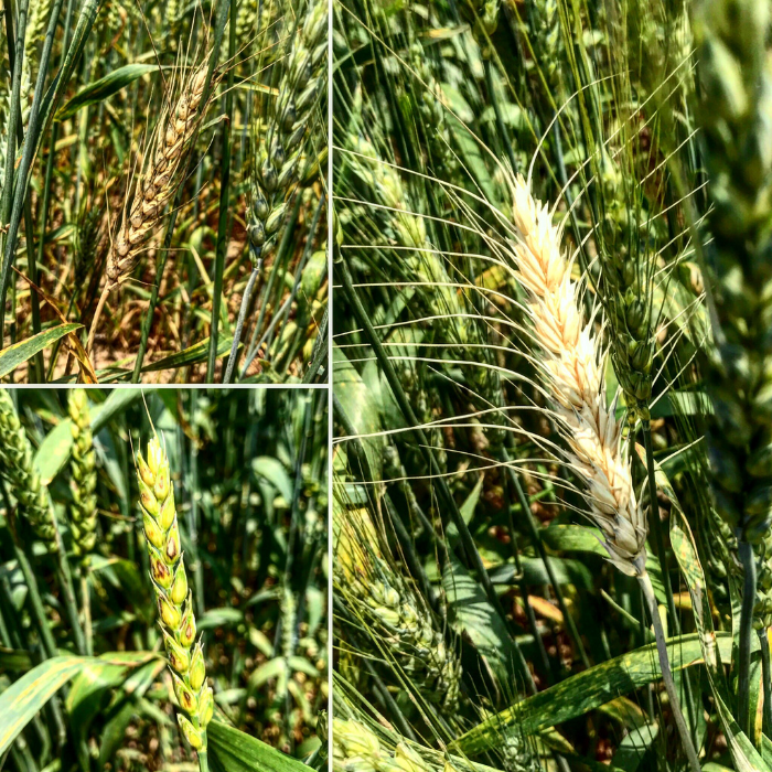 three different examples of diseases on wheat crops