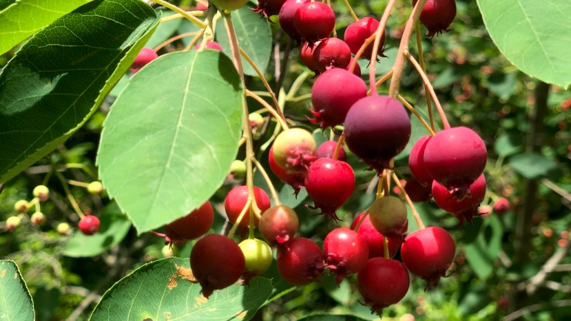 Juneberries hanging off a Juneberry tree.