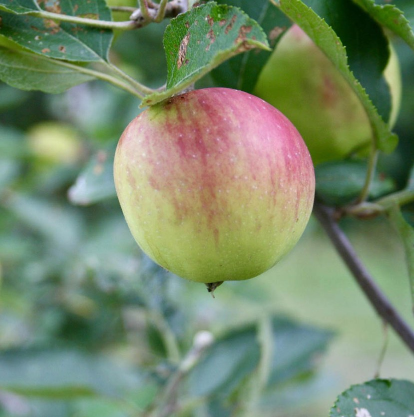 Red and green apple on tree