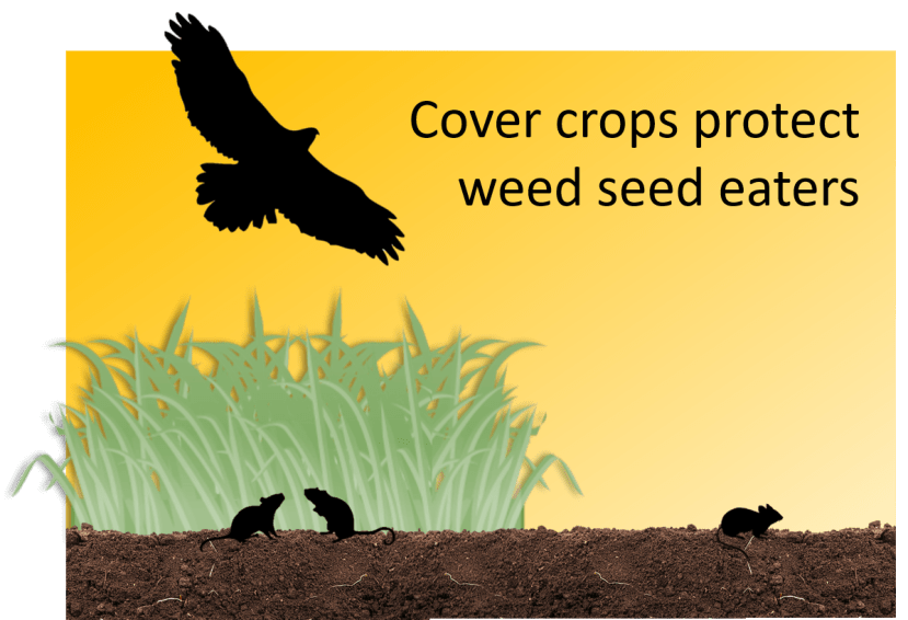 Graphic showing bird soaring above cover crop area hiding mice