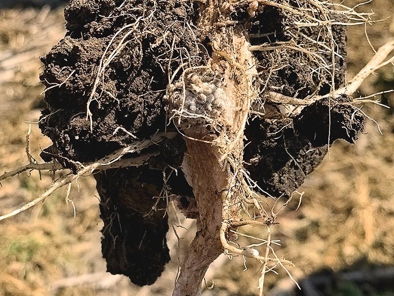 sunn hemp legume roots and root nodules