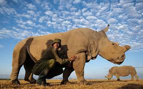 https://sustainableng.wordpress.com/2018/03/20/worlds-last-male-northern-white-rhino-dies-as-species-faces-extinction@sustainableng.wordpress.com