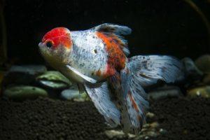 Cara Ekspor Ikan Hias