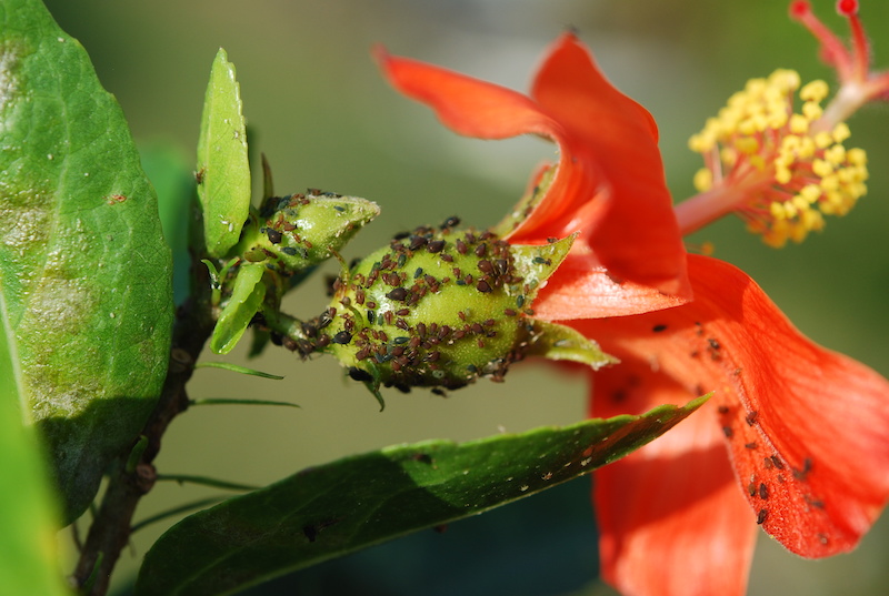 Aphids On Hibiscus Kokio Saintjohnianus Sustainable Bioresources Llc