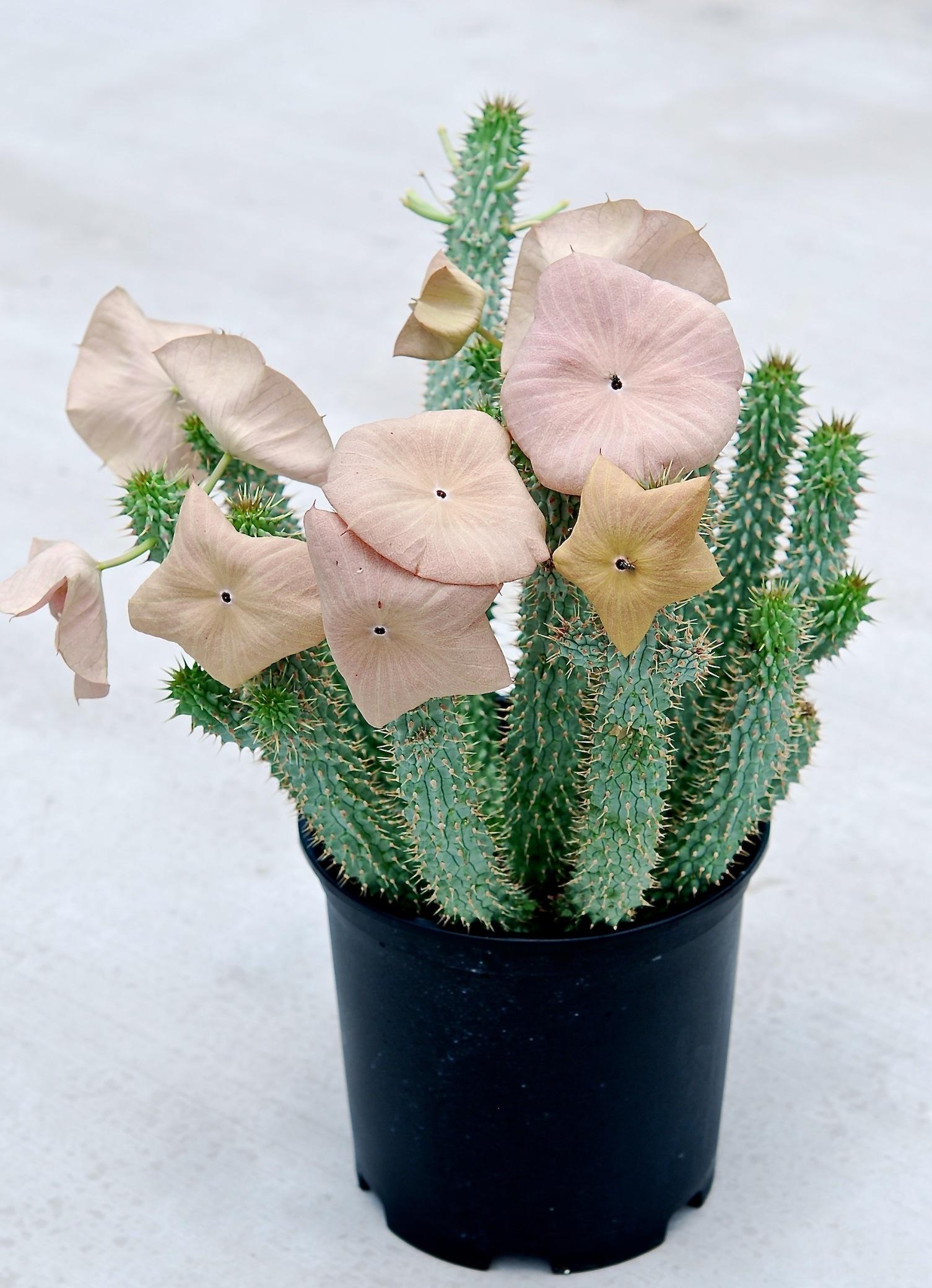 Cultivars Of Hoodia Gordonii Sustainable Bioresources Llc