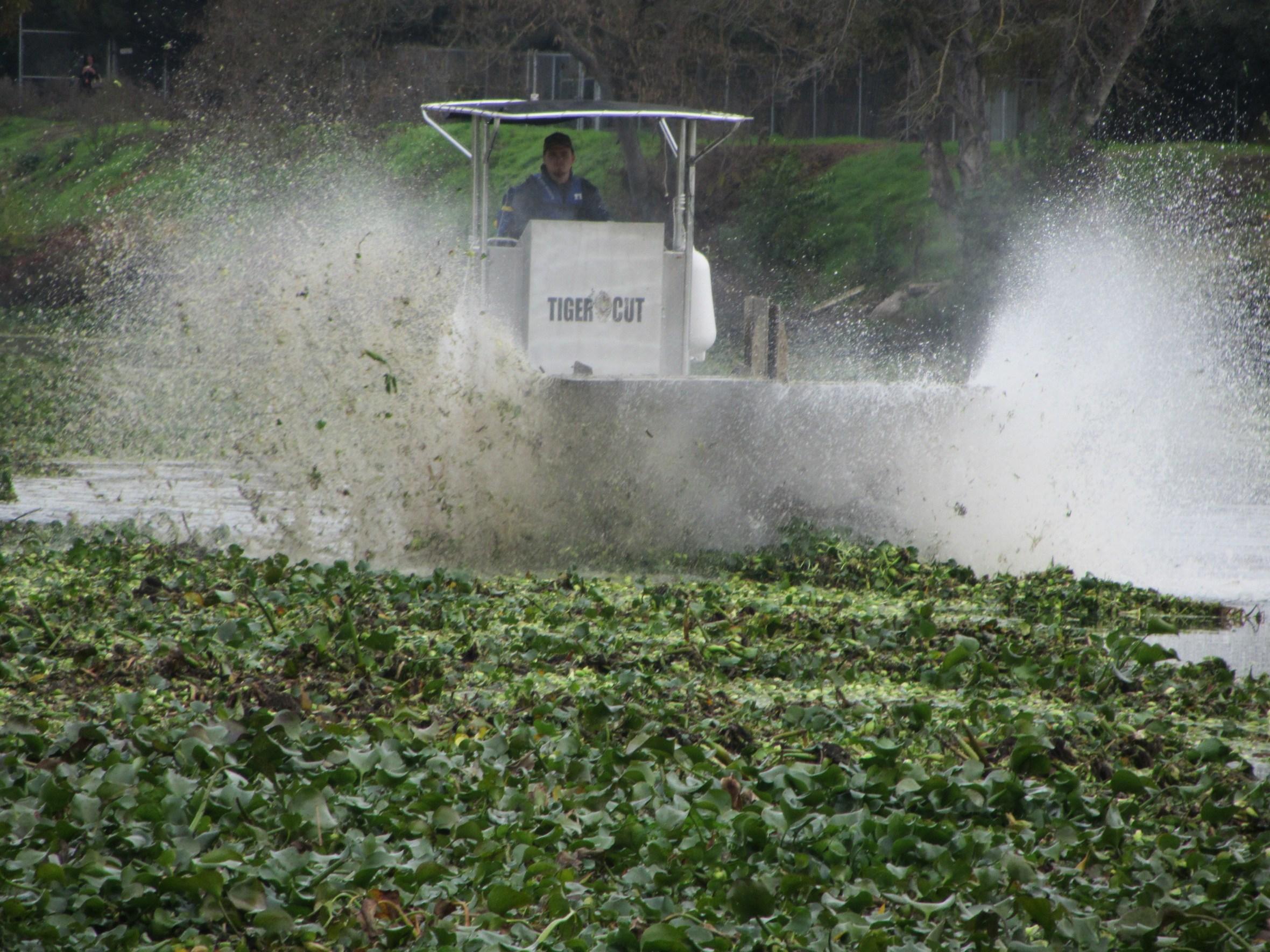 water hyacinth harvest
