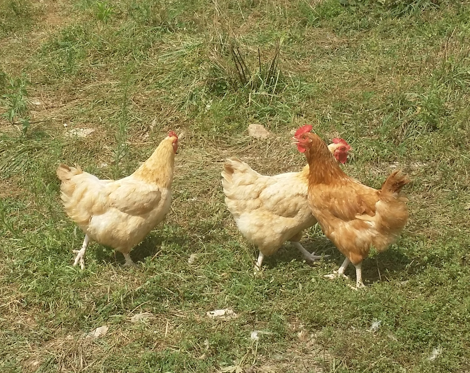 Non Vegetarian Fed Chickens