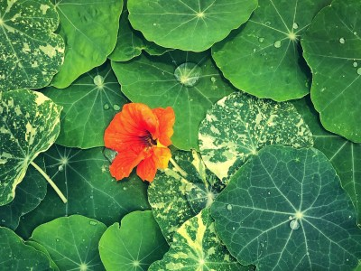 Growing Nasturtiums