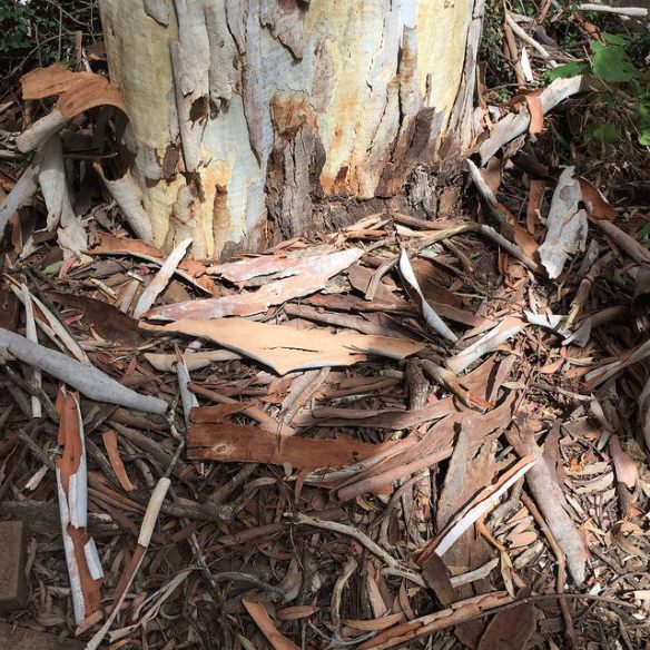 Bark shed from base of Eucalyptus tree