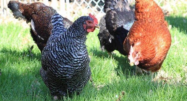 Hot weather chicken breeds