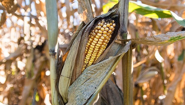 How GMOs and herbicides can affect your health
