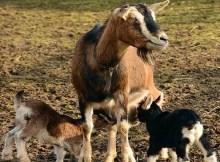 Buying a milk goat