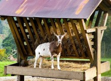 What does it cost to raise goats?