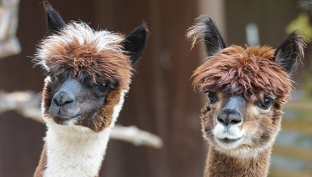 Raising alpacas for homesteaders