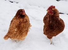 Cold weather chicken care tips