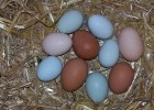 Chicken breeds for colored eggs