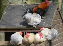 Essential considerations for building a chicken coop