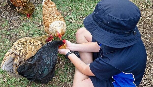 Kid-friendly chicken breeds