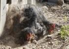 Natural ways to prevent & treat chicken mites