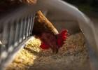 Homemade whole-grain chicken feed recipe