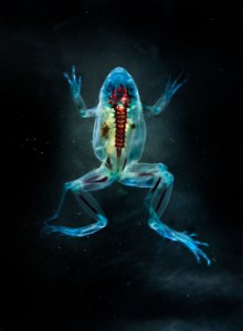 DFA 186: Hades. 2012. Unique digital-C print on watercolor paper. Cleared and stained Pacific tree frog collected in Aptos, California in scientific collaboration with Stanley K. Sessions. 46 x 34 in. Courtesy the artist and Ronald Feldman Fine Arts, New York, NY.