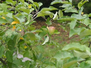 Fuji Apple tree with one apple ripening
