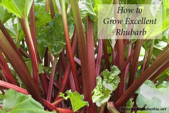 Healthy rhubarb plants growing | SustainableSuburbia.net