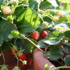 Stawberries growing in two containers, photo by Ewen Roberts