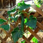 Cucumber vine growing on a trellis, with a single cucumber hanging down in the middle, ready to pick