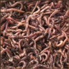 a mass of red worms all entangled