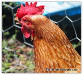A head shot of an Isa Brown hen with a bright red comb, but looking a bit thirsty, with her mouth open