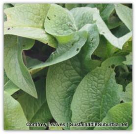 a lush green comfrey plant