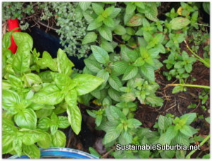 bright green herbs grow closely together in pots.