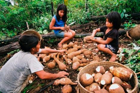 Roça da Dona Amélia (Tuyuka) Comunidade São Pedro, Alto Rio Tiquié, Terra Indígena Alto Rio Negro, Amazonas, Brasil. 05/2005 Crédito: Beto Ricardo/ISA