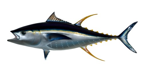 yellow-fin-tuna
