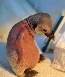 pinguinocalvo