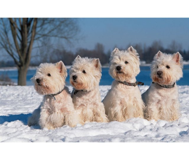 Westies In The Snow Christmas Cards Greetings Cards Charity Gifts Cards Rspca Shop