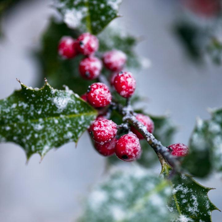 christmas berries cards individual