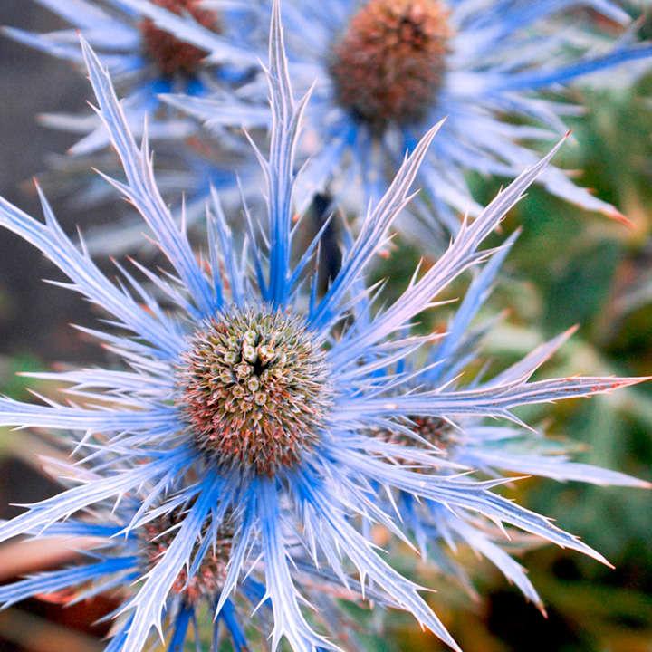 Eryngium Alpinum Seedling