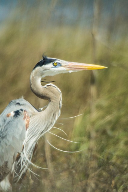 Common name: Great Blue Heron Scientific name: Ardea herodias Type: Bird Diet: Carnivores Average lifespan: 15 years Wingspan: 5.5 to 6 ft Fun fact: Great Blue Herons can choke by eating fish that are too big. Source: National Geographic